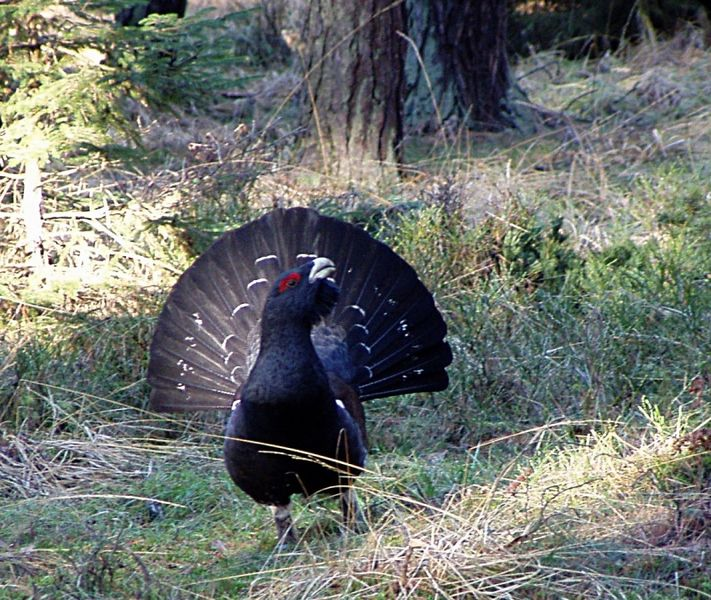 711px-Capercaillie_Lomvi_2004